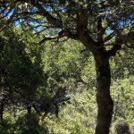 Amorgos-Eichenwald2